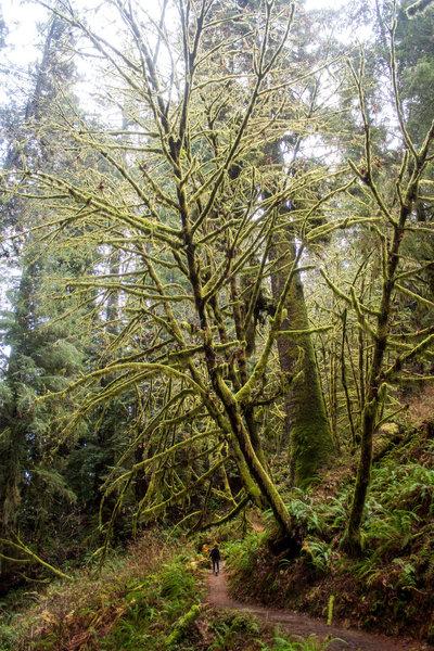 Mossy tree near Trillium Falls