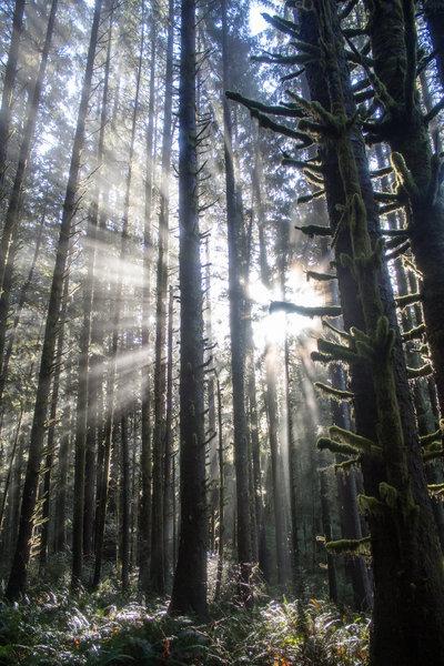 Dim winter light through mossy trees.