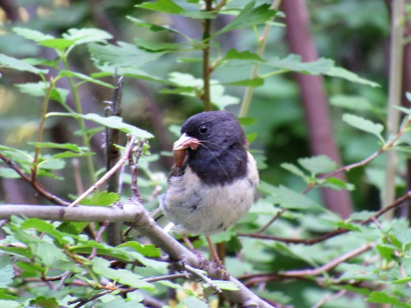 Oregon Black Eyed Junco with insect hors d'oeuvres on Rd 200. This road is infrequently used by vehicles--or peds or bikes so wildlife abounds.