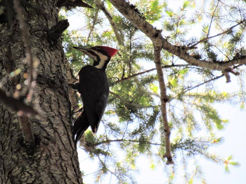 Pileated woodpecker on Lewis Loops (Photo by Robert Nicholson)