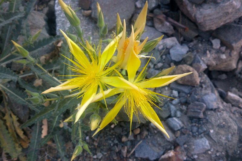 Mentzelia laevicaulis on Baldy Bowl Trail.