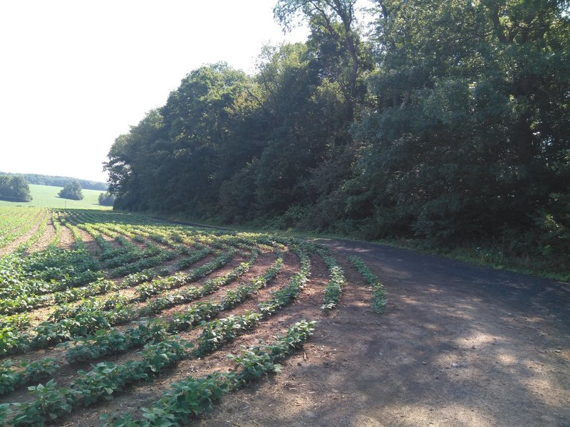 The first portion of the trail, heading between crops.