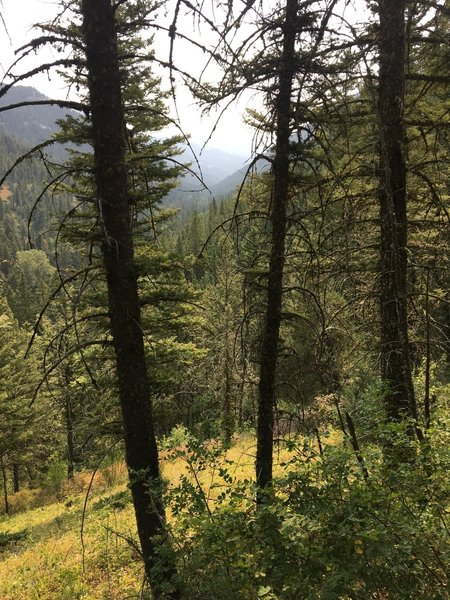 Spruce forest on a sunny day.
