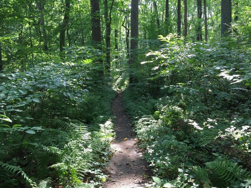 The Orange Trail makes a brief transition of ferns with symmetrical trees as the path trails off.