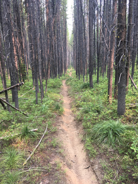 Easy running between the Lodgepole pines on the Klip Creek Trail.