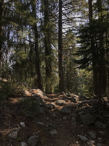 Brewer's spruce on Sugar Lake Trail in Russian Wilderness
