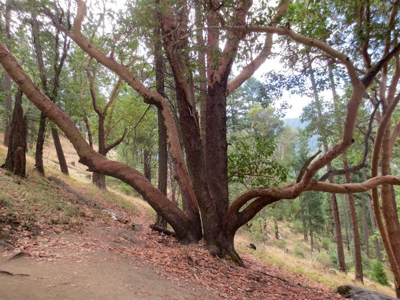The distinctive Madrone, common throughout the Ashland trail system especially on south-facing slopes.