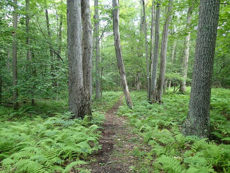 Fern line Clove Creek Trail