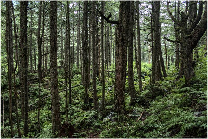 Rainforest around the Mt. Roberts Trail.