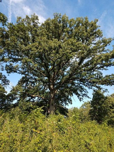 Bur oak tree, along the savanna trail.