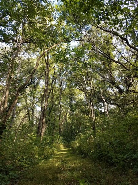 Woodland canopy in early August.