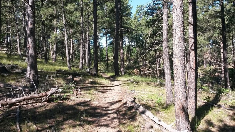 Singletrack through the pine trees.