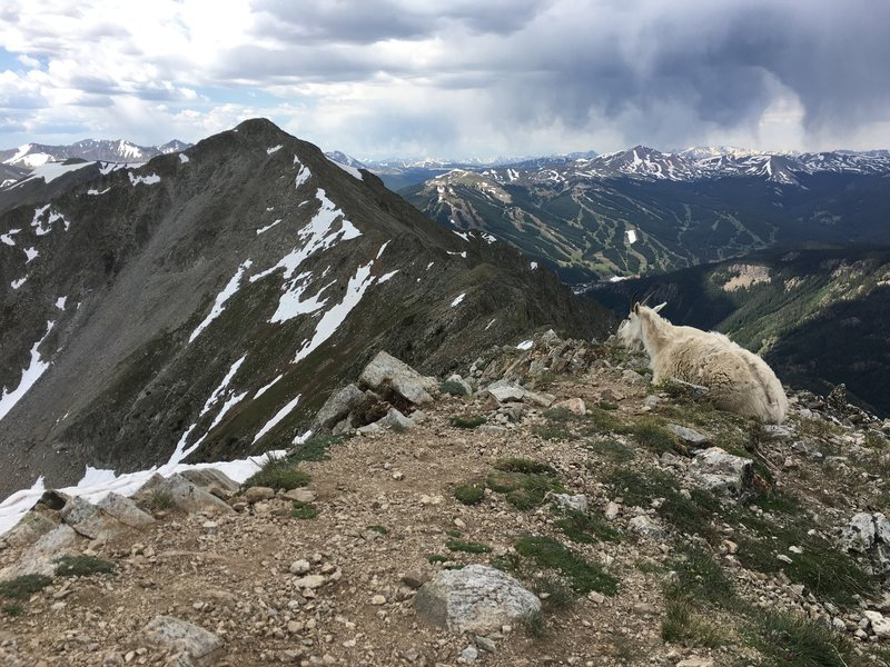 Friendly goat atop Peak 1, Copper Mtn Resort in the background.