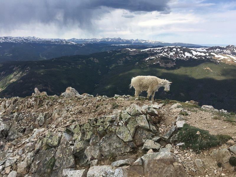 Goat atop Peak 1