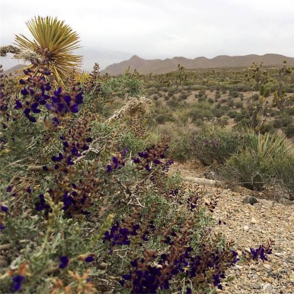 Indigobush in Mojave Desert, Southern Nevada