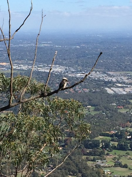 Kookaburra sits on the old gym tree - at Burke's Lookout