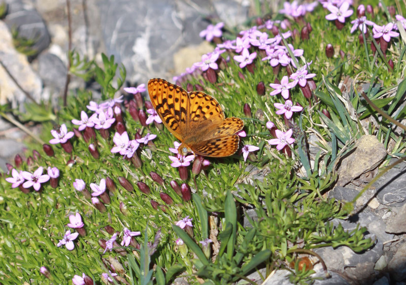 A butterfly searches for nectar in the alpine.