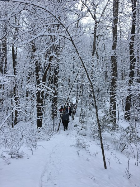 Heavy snow bends the boughs across the trail