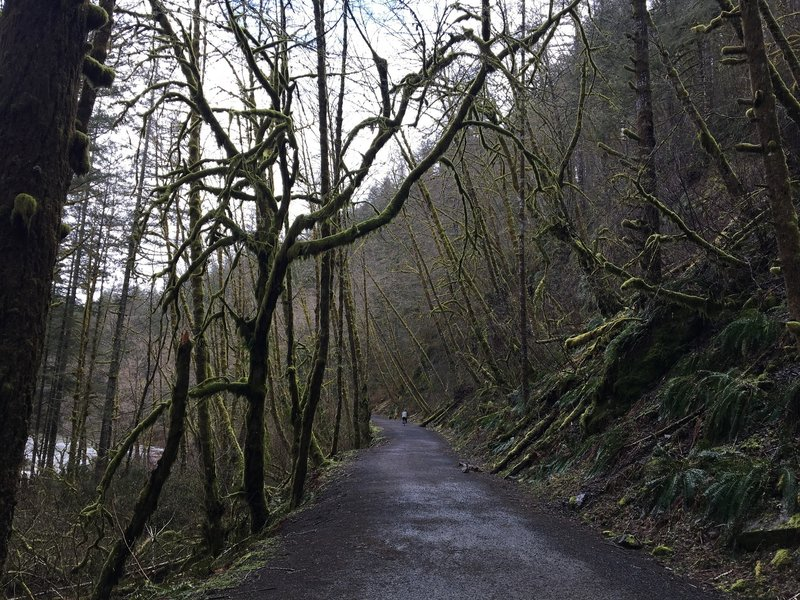 Moss-laden alder trees along the trail.