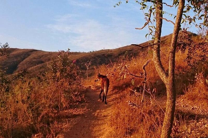 A Guará wolf walks in the trail of Perdidas.