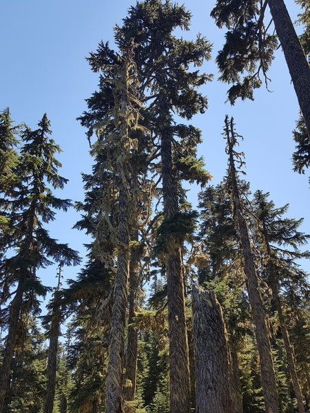 Towering trees surrounding the lake, interesting how the Old Man's Beard moss has been shaped by the wind