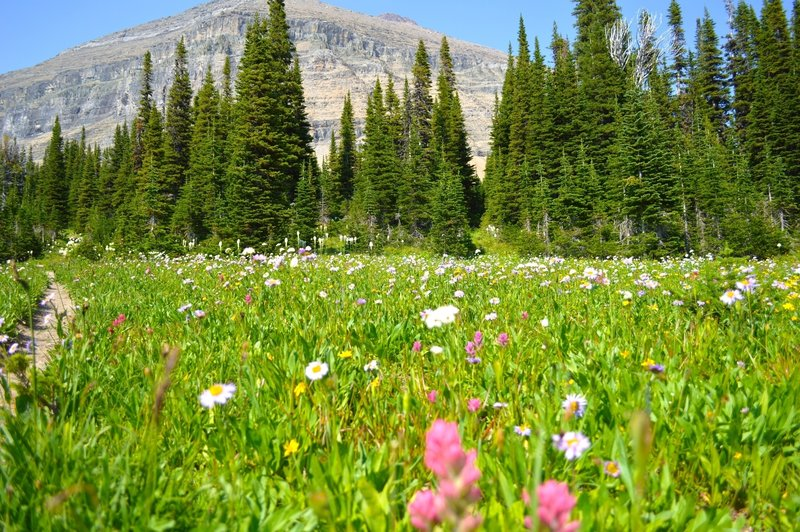 Wildflowers on the Piegan Pass Trail.