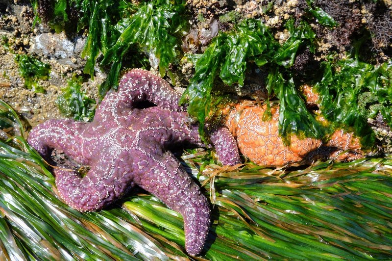 Starfish in a tidepool near hole-in-the-wall.