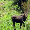 Bull moose off trail