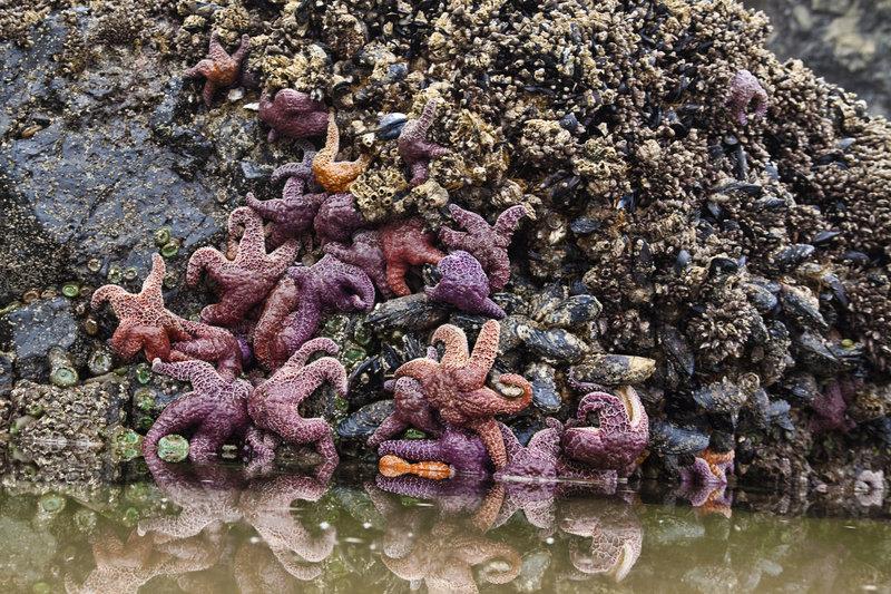Starfish at Haystack Rock.