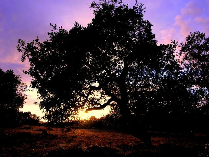 Oak tree and meadow, sunset.