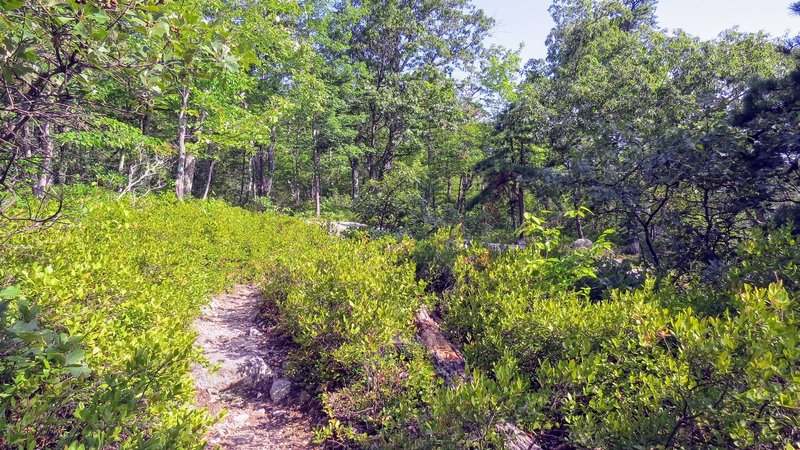 Much of Millbrook Mountain Trail has these lovely sections of rhododendron.