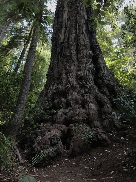 Ancient redwood tree on Tall Trees Trail in Redwood National Park