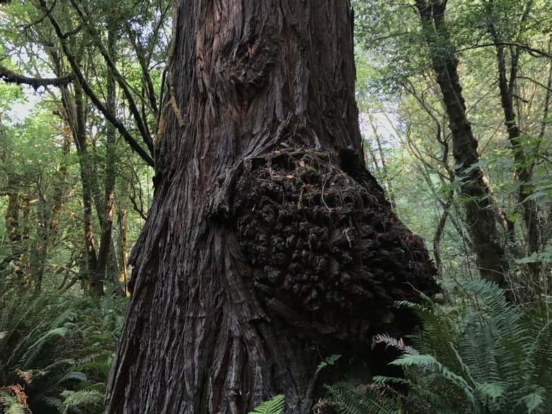 Redwood burl on Tall Trees Trail loop in Redwood National Park