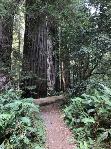 Tall Trees Grove in Redwood National Park