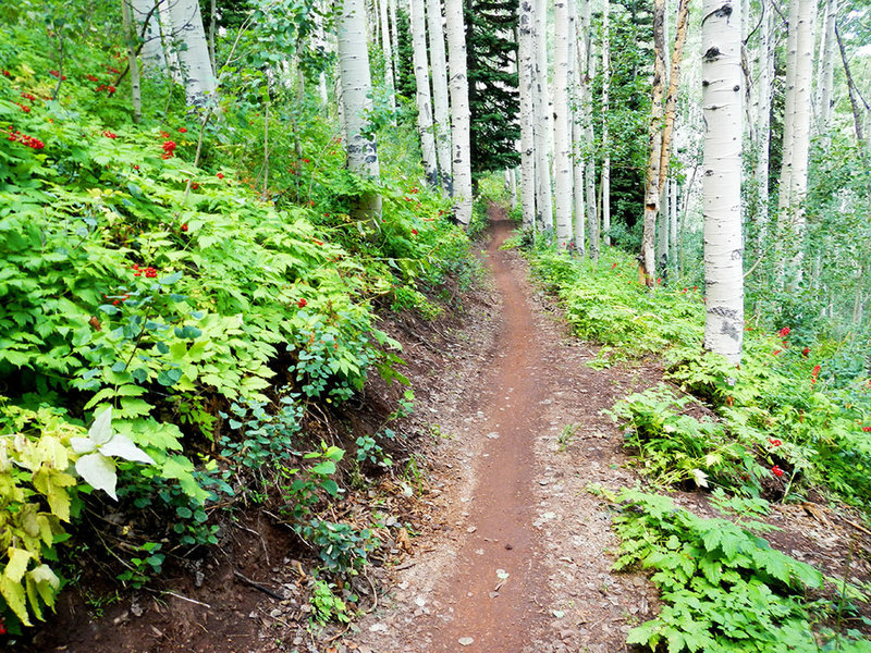 Some of the best trail through aspens you'll ever experience!