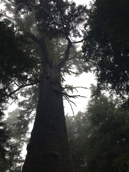 The impressive Big Spruce