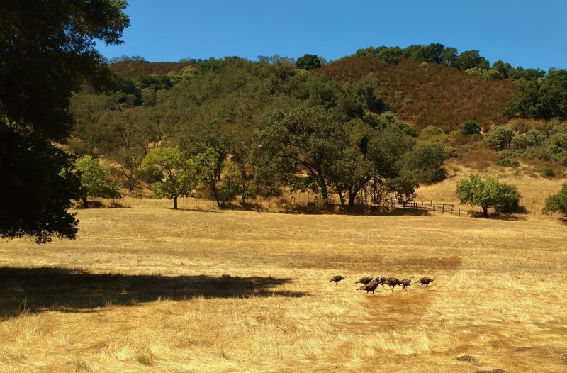 Wild turkeys along the Llagas Creek Loop Trail in Rancho Canada del Oro Open Space Preserve.