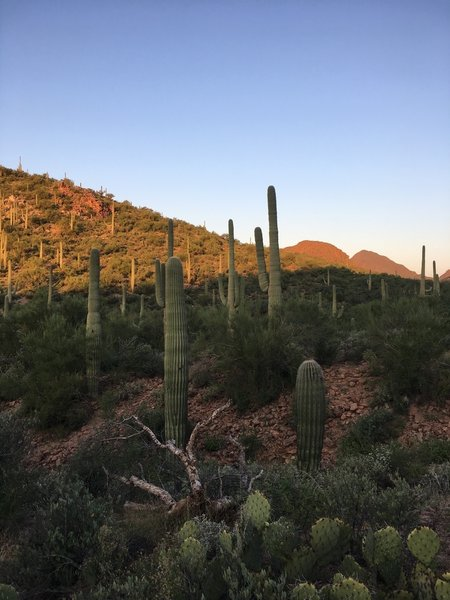 Early morning sunrise over the saguaro cacti.