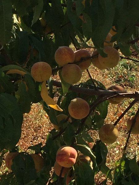 Peach Tree - look delicious!