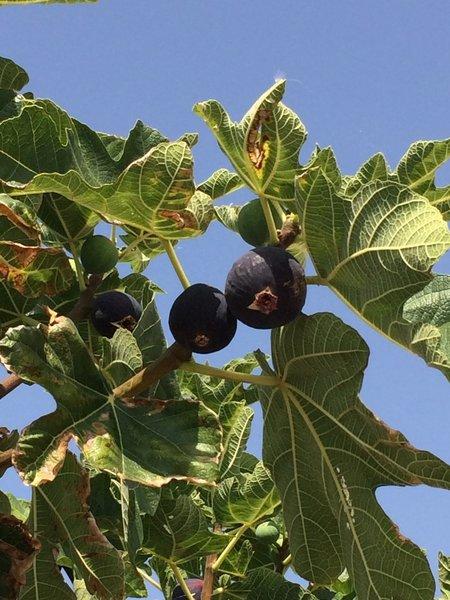 Figs - yum!