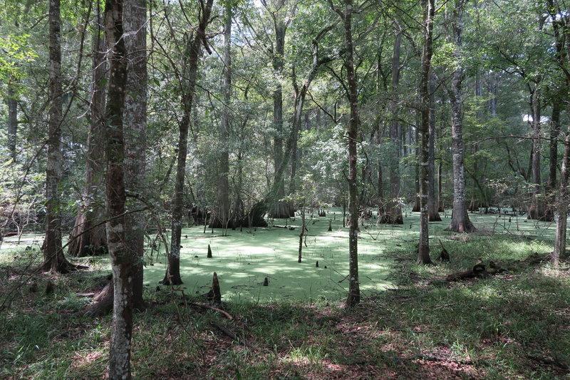 Cypress Swamp.