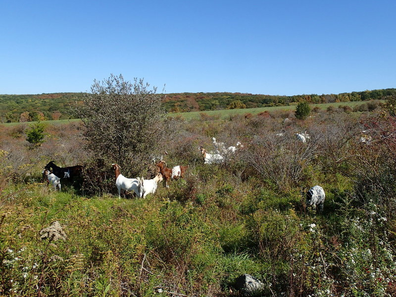 Goats may be along the trail.