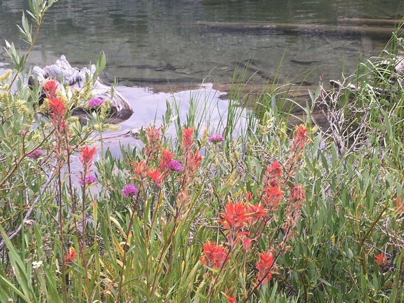 Wildflowers next to Long Lake - Paint Brush.