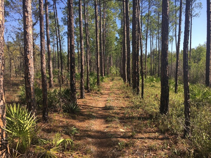 An easy to pedal straight section of trail through planted trees.
