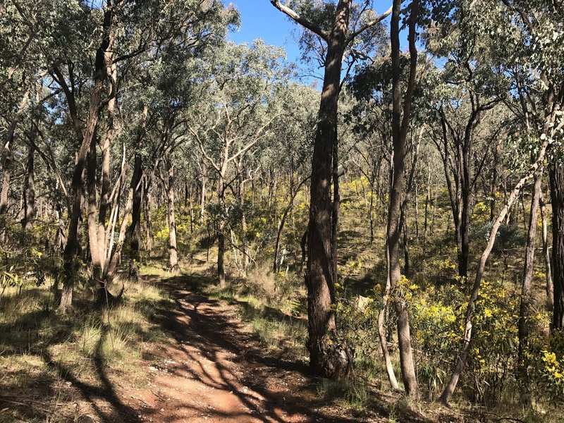 Box Ironbark forest with wattles in the understory