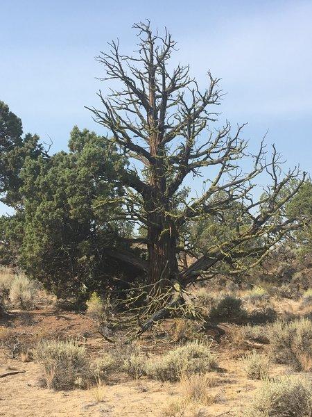 Juniper pines.
