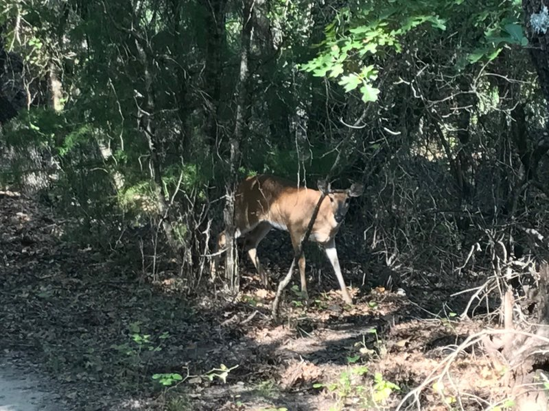 White-tailed deer on 1886 Trail.