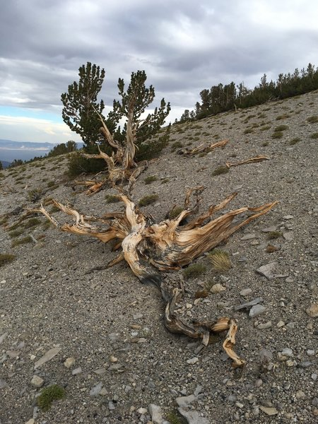 Whitebark Pines on Glass Mountain.