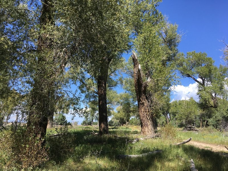 Cottonwood stand near Deadman's Creek