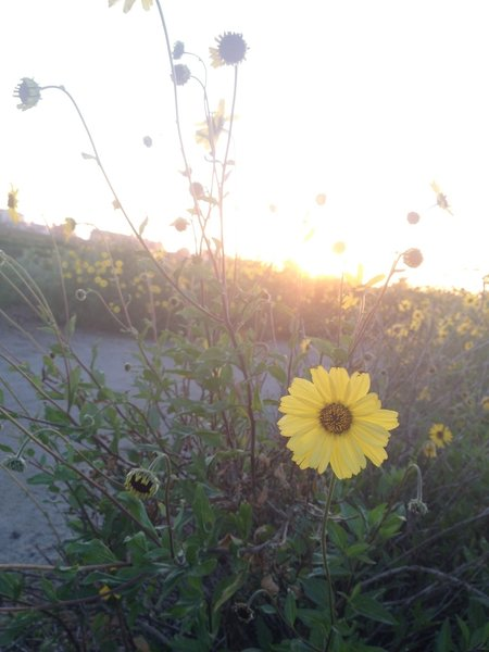 Spring time flowers in the Tijuana River Estuary.